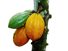 Cacao Pods and Chocolate